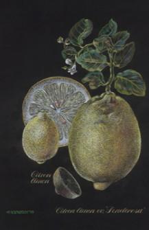 Ponderosa lemon